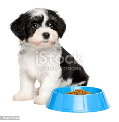 Cute Havanese Puppy Sitting Next To A Blue Food Bowl Stock Photo
