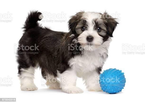 Cute havanese puppy with a blue toy ball picture id873340318?b=1&k=6&m=873340318&s=612x612&h=blgi8rlizyvlzpqvmpx8gr6  fm5hnzv5yi j zfuzm=