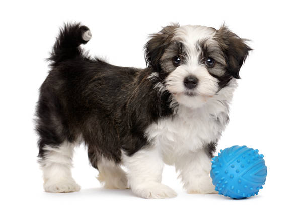Cute havanese puppy with a blue toy ball picture id873340318?b=1&k=6&m=873340318&s=612x612&w=0&h=nir0jkjp4pcablqhyzcoi6g c1xahjixjjfyg90tuss=