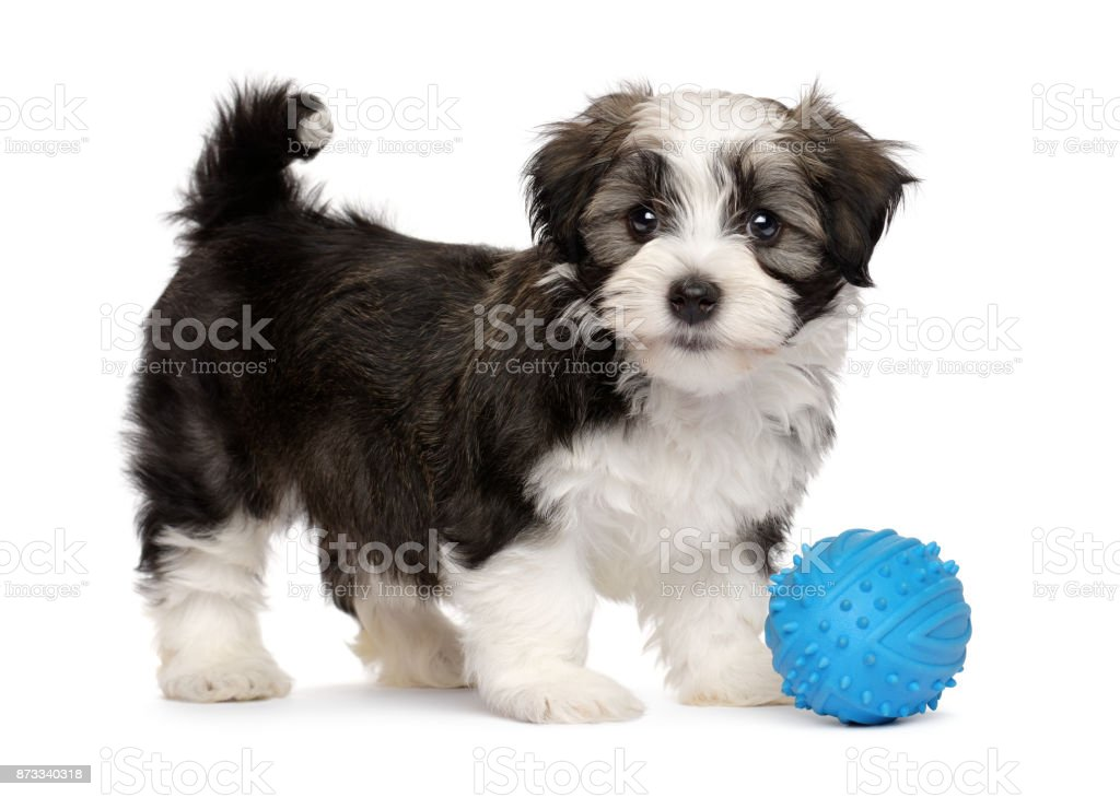 Cute havanese puppy with a blue toy ball stock photo