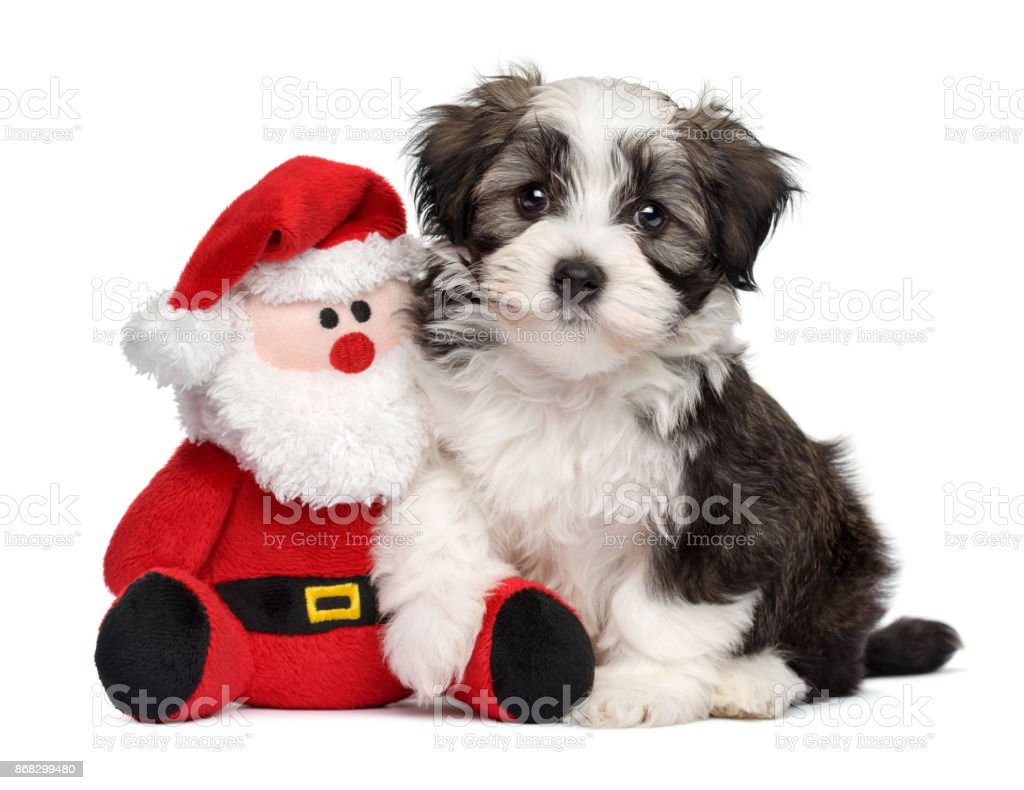 Cute Havanese puppy with a little Santa plush toy stock photo
