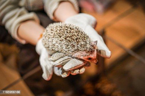 Cute hedgehog image. Shooting Location: Yokohama-city kanagawa prefecture
