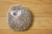 Cute hedgehog in my room