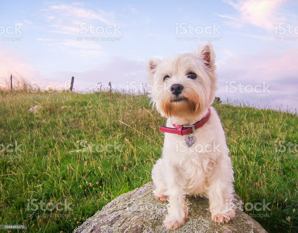 Cute high key portrait of a west highland white terrier dog at dusk sitting on a rock in a field stock photo