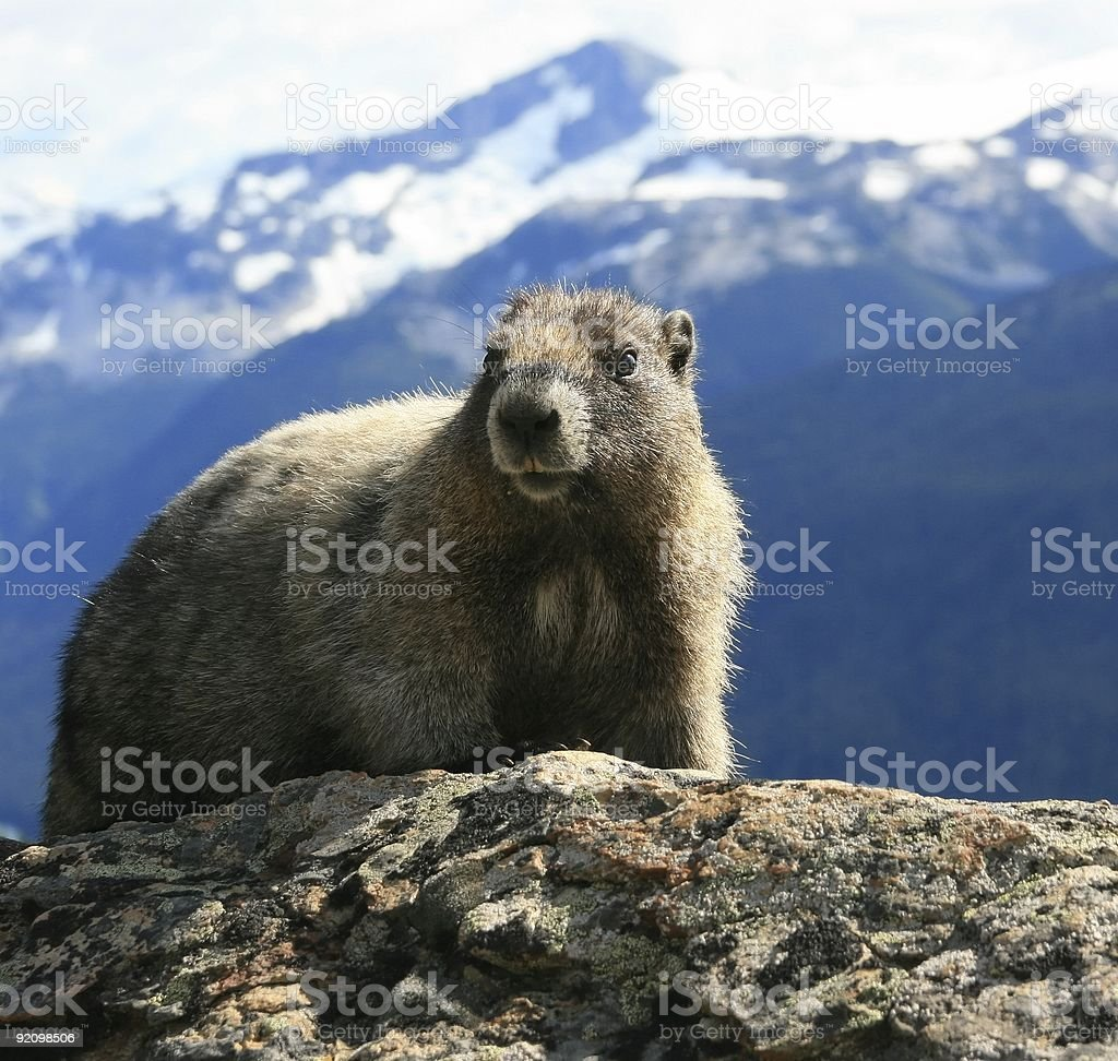 A cute Hoary Marmot in the Alpine Mountains royalty-free stock photo