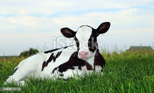 Newborn Holstein calf laying on the grass at twilight