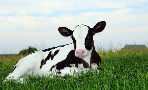 Cute Holstein calf laying in meadow early in the evening Newborn Holstein calf laying on the grass at twilight dairy cattle stock pictures, royalty-free photos & images