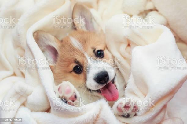 Cute homemade corgi puppy lies in a white fluffy blanket funny out picture id1067074306?b=1&k=6&m=1067074306&s=612x612&h=n4jqpafilnsibdjiy7d7y1yb8zdu4iimdsvumx2ecrw=