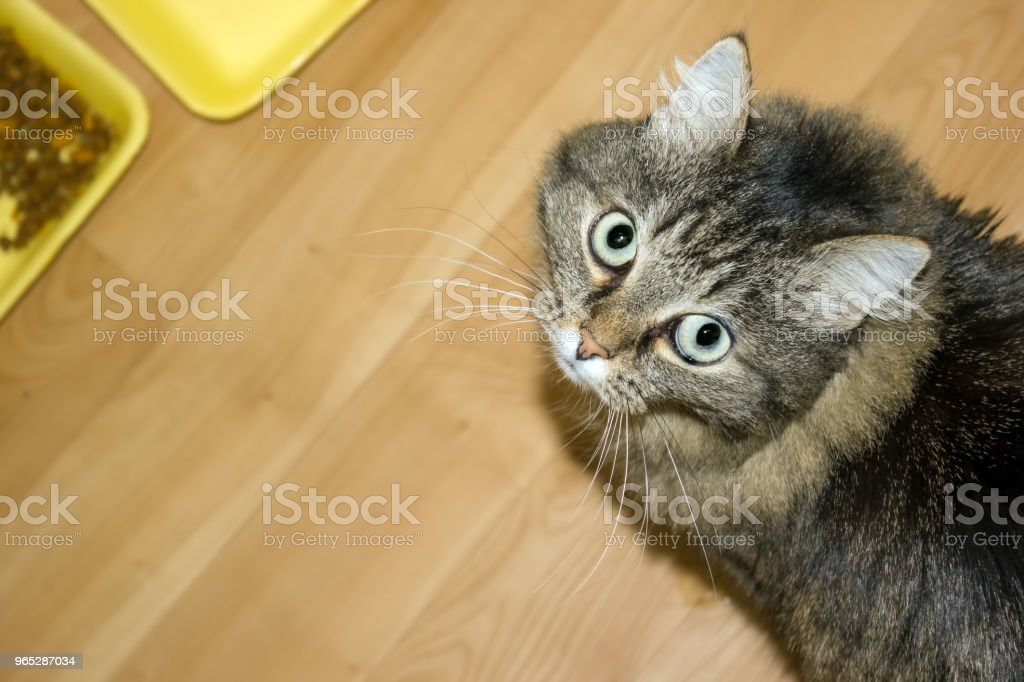 Cute homemade furry cat with big eyes on the floor next to bowls with food royalty-free stock photo