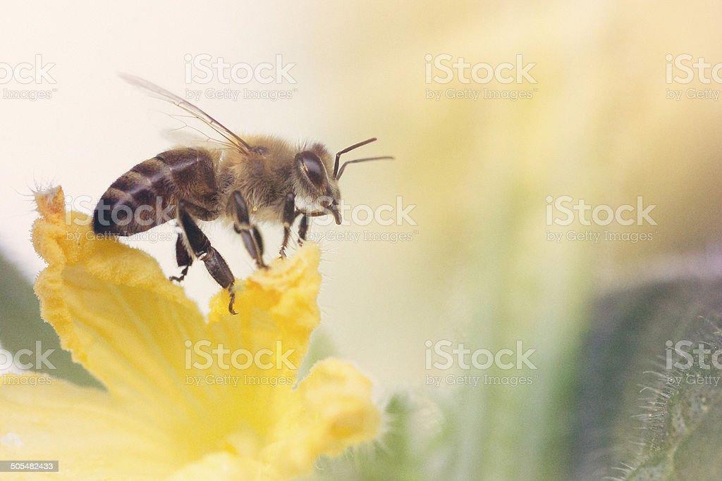Cute Honeybee on Garden Squash Flower Blossom royalty-free stock photo