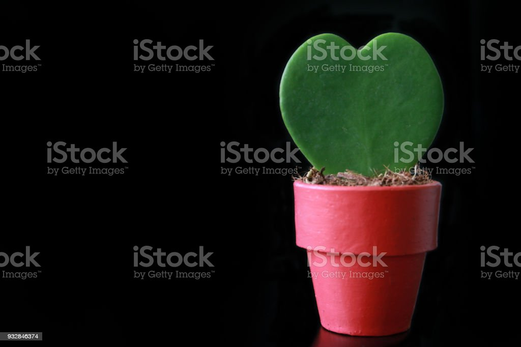 cute Hoya Kerrii Heart Cactus stock photo