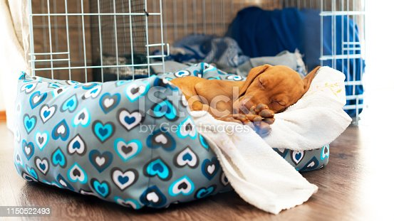 Cute hungarian 2 months old vizsla puppy sleeping in his comfy bed with white blanket.
