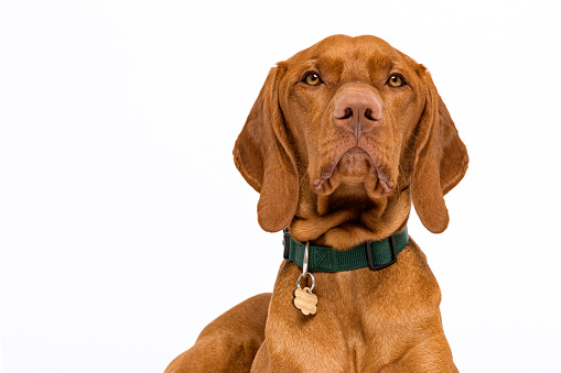 Cute hungarian vizsla dog headshot front view studio portrait. Dog wearing pet collar with name tag looking at camera isolated over white background.