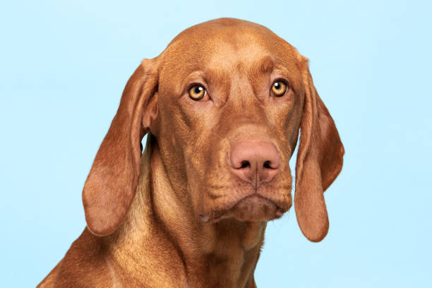 Cute hungarian vizsla dog studio portrait dog looking at the camera picture id1200987241?b=1&k=6&m=1200987241&s=612x612&w=0&h=2qqsmdfzob6gjvsodkiustiayac 1y q1w82r5p85ni=