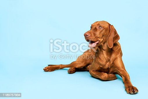 Cute hungarian vizsla dog studio portrait. Gorgeous dog lying down and looking up smiling over pastel blue background.