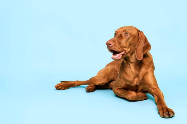 Süße ungarische vizsla Hund Studio Porträt. Wunderschöner Hund liegt und schaut lächelnd über pastellblauen Hintergrund. – Foto