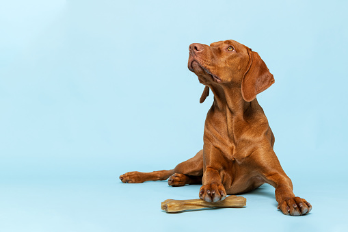 Cute hungarian vizsla puppy with rawhide chew bone studio portrait over blue background. Beautiful dog holding a chew toy bone with his paw while looking up.