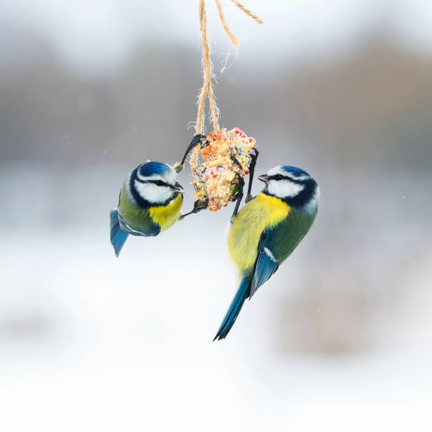 cute hungry birds fly tit at the feeders and eating seeds on the fly stock photo