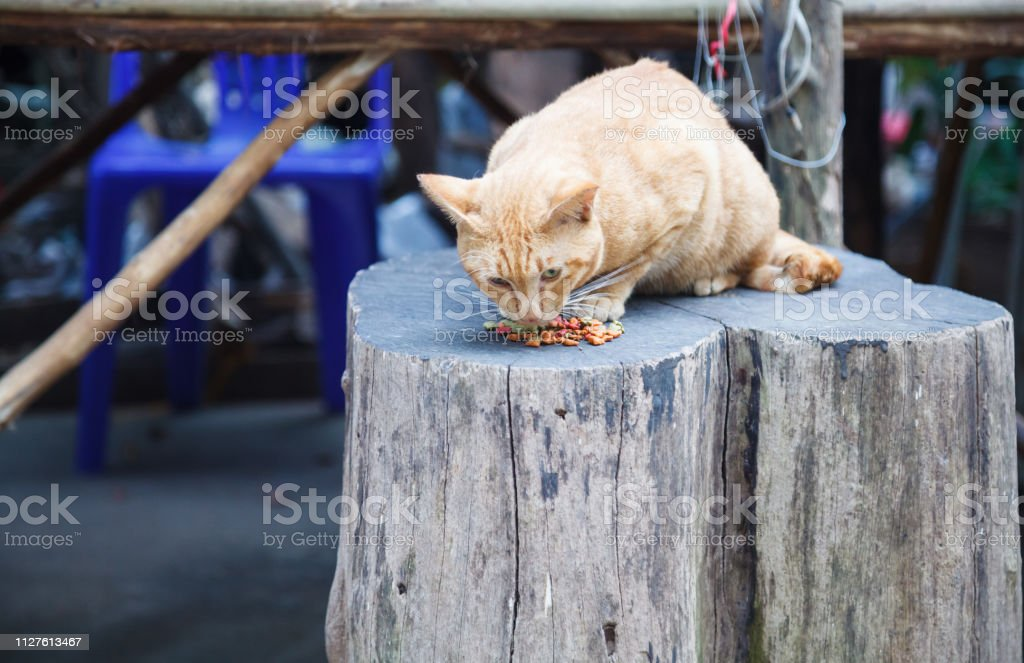 Cute hungry orange striped pattern cats eating pet food at street...