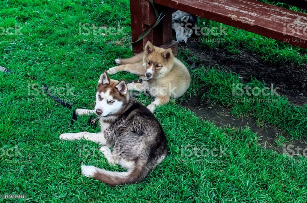 Cute husky lying on the green grass stock photo