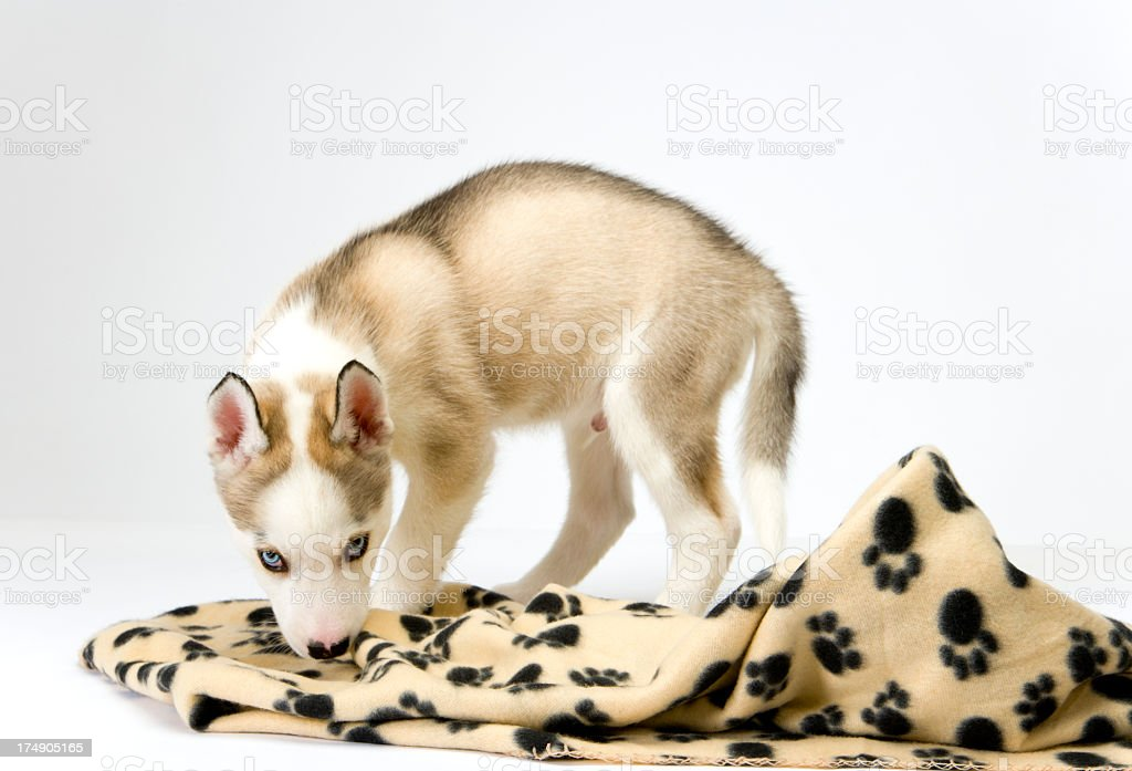 Cute husky puppy on white seamless royalty-free stock photo