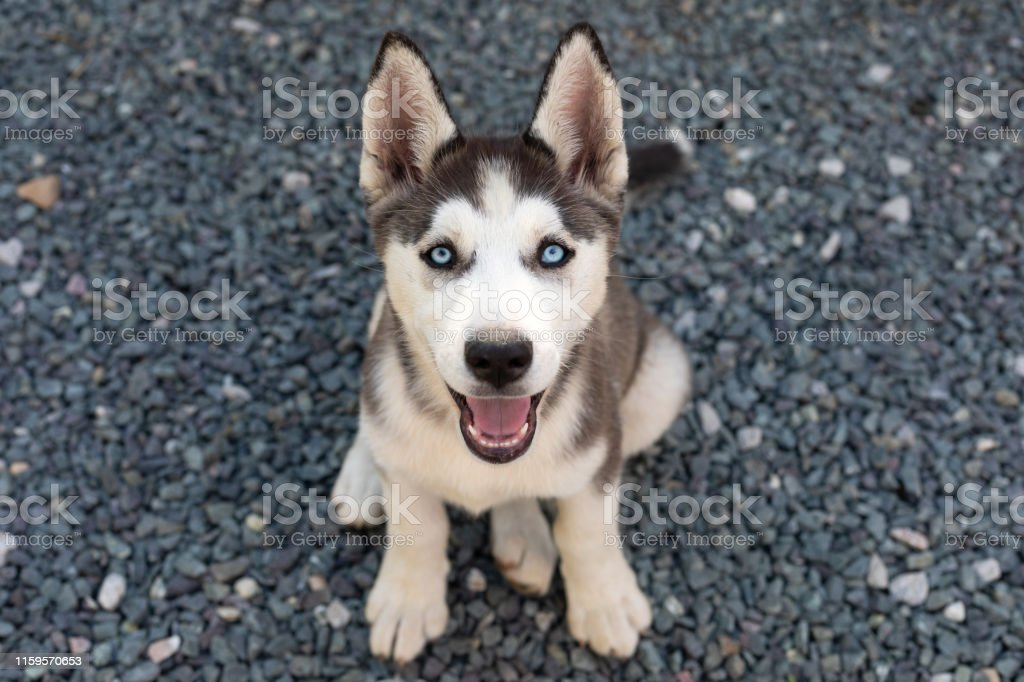 Cute Husky Puppy Stock Photo Download Image Now Istock