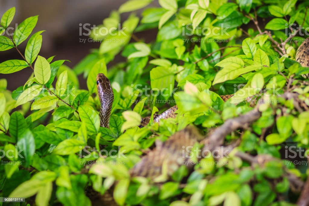 Cute Indochinese rat snake (Ptyas korros) is slithering on tree with green leaves background. Chinese ratsnake or Indo-Chinese rat snake, is a species of colubrid snake endemic to Southeast Asia. stock photo