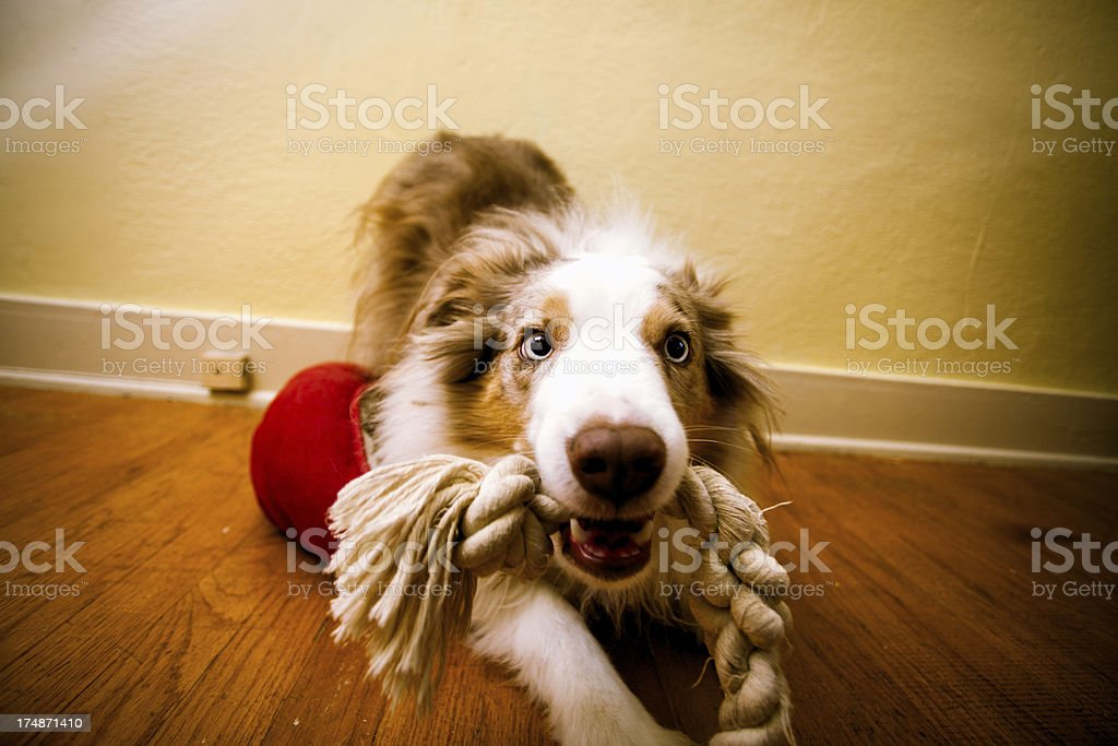 Cute Indoors Playing Dog stock photo