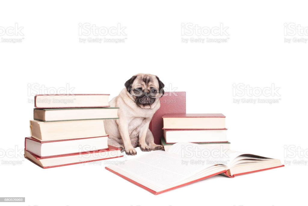 cute intellectual cute pug puppy dog wearing reading glasses, sitting next to piles of books, isolated on white background stock photo
