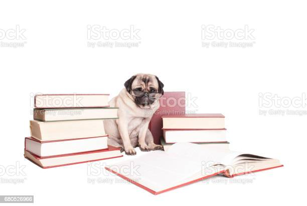 intellectual cute pug puppy dog wearing reading glasses, sitting next to piles of books, isolated on white background