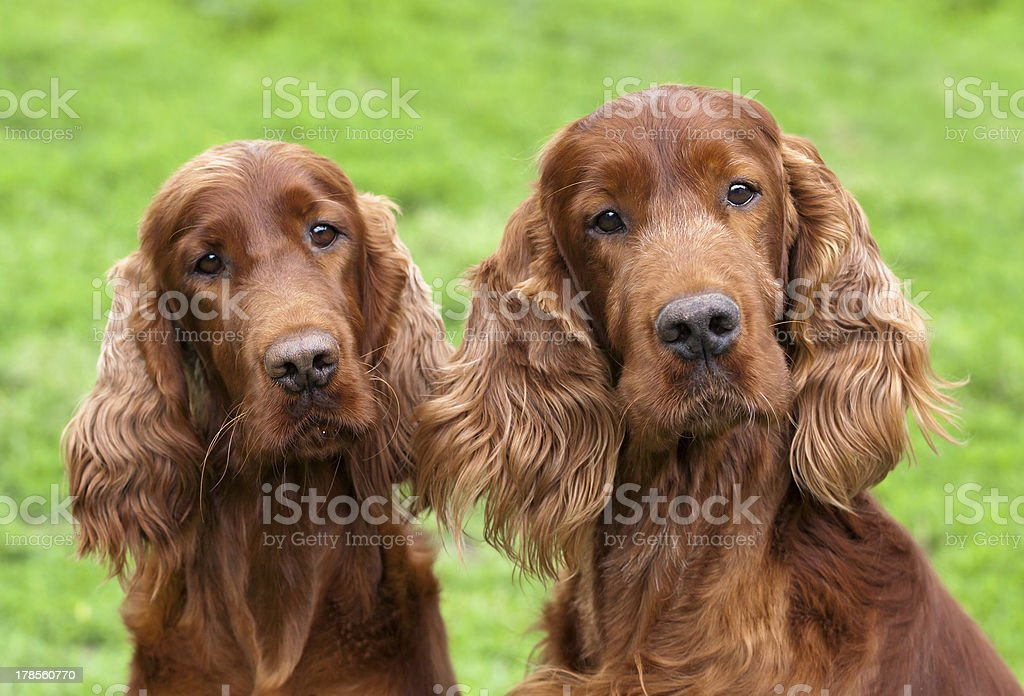 Cute Irish Setter pair stock photo