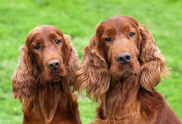 Cute Irish Setter pair Portrait of a curious Irish Setter pair as looking at the camera irish setter stock pictures, royalty-free photos & images