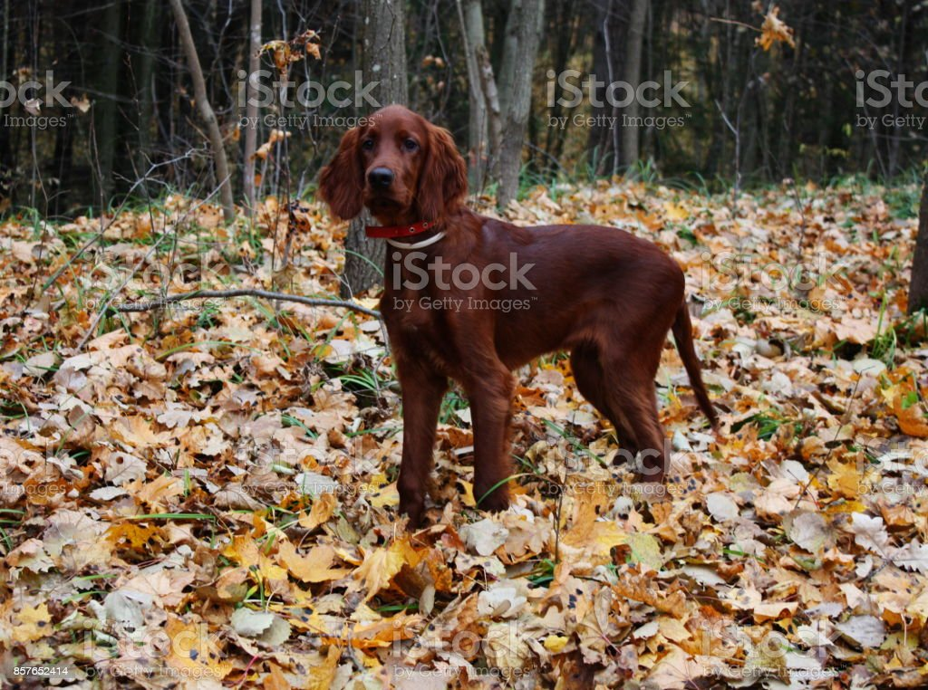 cc12f701819 Cute Irish Setter Puppy Red Dog On Autumn Leaves Stock Photo ...