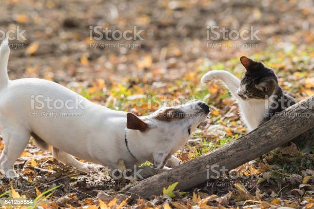 Cute jack russel dog and domestic kitten best friends picture id641258884?b=1&k=6&m=641258884&s=612x612&h=82opipendwa6zdbs7ffe82 f6lwt1wqtwi8mso0emks=
