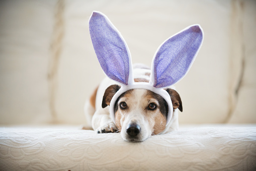 Cute Jack Russel dog wearing rabbit's ears  during Easter holidays. Horizontal indoors with copy space. This was taken in Quebec, Canada.