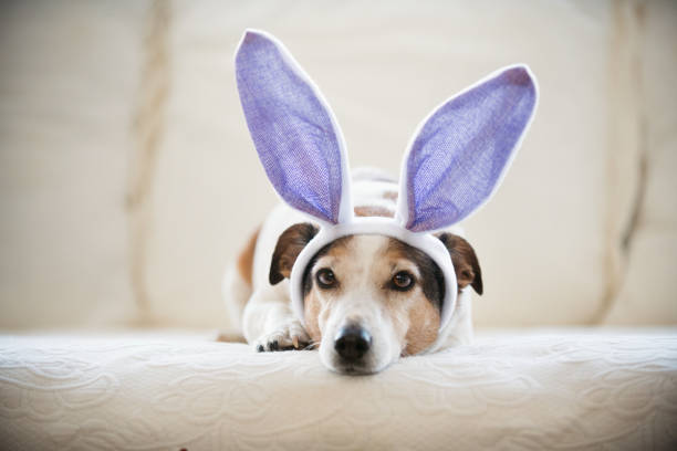 cute jack russel dog wearing rabbit's ears during easter holidays - manonallard stock photos and pictures