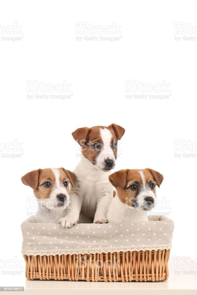 Cute jack russell babies in the bed. Close up. White background stock photo