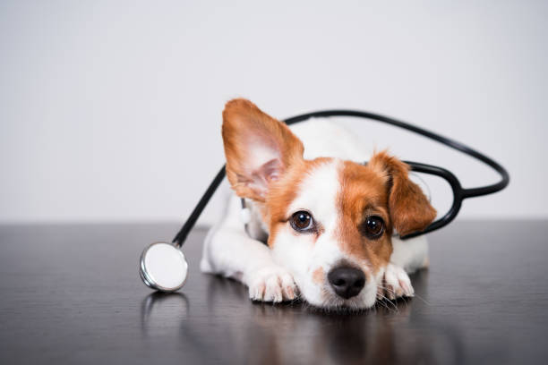 cute jack russell dog at veterinary clinic. Holding a stethoscope. Veterinary concept stock photo