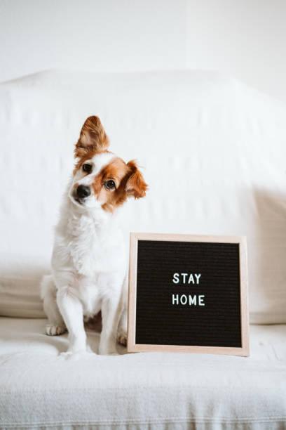 lindo perro jack russell en el sofá con tablero de cartas con mensaje STAY HOME. Concepto de coronavirus pandémico covid-19 - foto de stock
