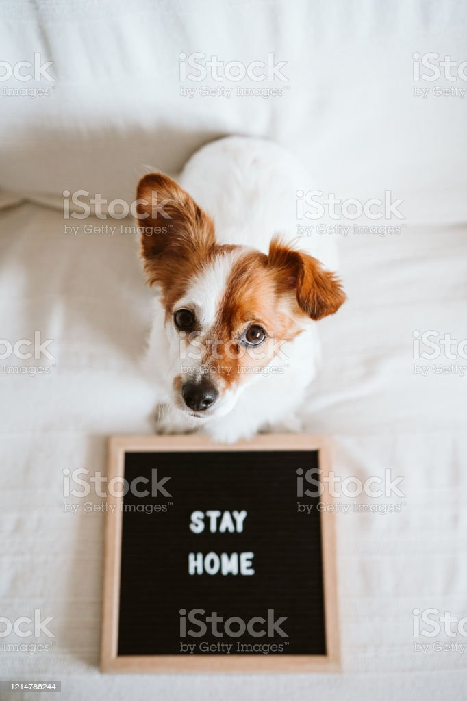 Cute Jack Russell Dog On The Sofa With Letter Board With Stay Home Message Pandemic Coronavirus Covid19 Concept Stock Photo Download Image Now Istock
