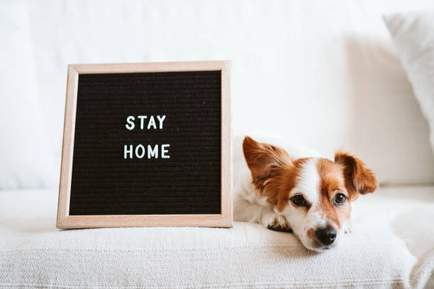 cute jack russell dog on the sofa with letter board with STAY HOME message. Pandemic coronavirus covid-19 concept stock photo