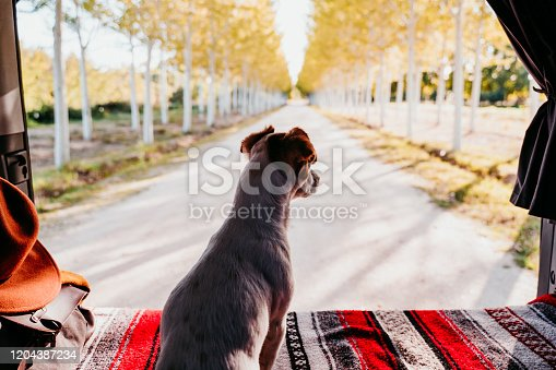 885056264 istock photo cute jack russell dog relaxing in a van. travel concept 1204387234