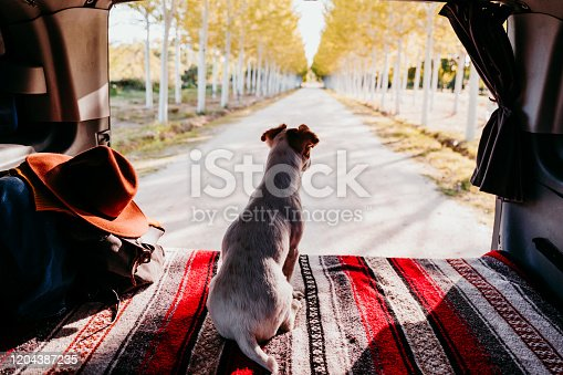 885056264 istock photo cute jack russell dog relaxing in a van. travel concept 1204387235