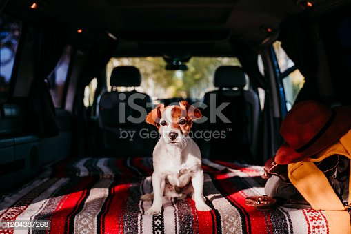 885056264 istock photo cute jack russell dog relaxing in a van. travel concept 1204387268