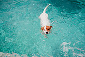 cute jack russell dog swimming in a blue water pool. summer time