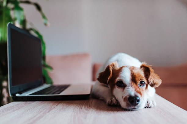 lindo perro jack Russell trabajando en la computadora portátil en casa. Concepto tecnológico - foto de stock