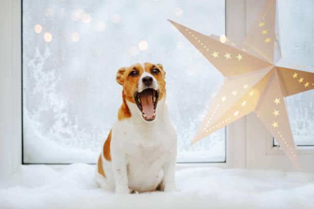 Niedliche Jack Russell ist Gähnen. Weihnachten oder Neujahr Hintergrund. – Foto