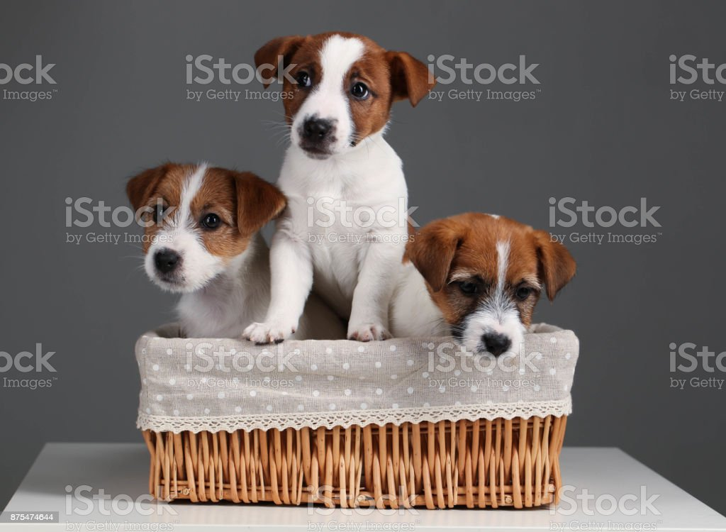 Cute jack russell puppies in the bed. Close up. Gray background stock photo