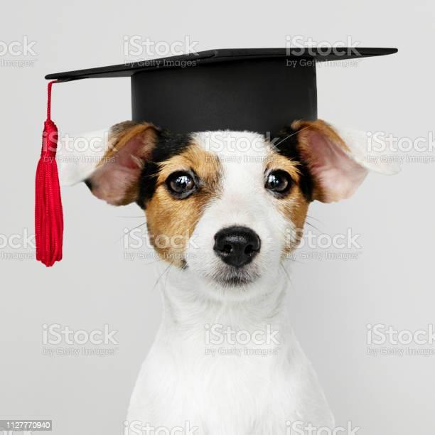 Cute jack russell terrier in a graduation cap picture id1127770940?b=1&k=6&m=1127770940&s=612x612&h=mtxw3ujna 0sremfepgqt3aqpjspsm7jbug vd1qpwk=