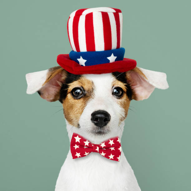 Cute Jack Russell Terrier in Uncle Sam hat and bow tie stock photo